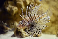 Lionfish pterois volitans in aquatank Royalty Free Stock Image