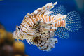 Lionfish pterois volitans venomous tropical fish closeup Royalty Free Stock Photo