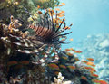Lionfish on red sea reef background Stock Photos
