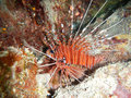 Lionfish scuba diver coral reef underwater ocean sea Thailand Royalty Free Stock Photo