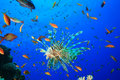 Lionfish surrounded by Lyretail Anthias Stock Image