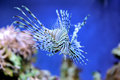 Lionfish a swiming over seagrass Royalty Free Stock Images