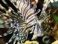 Lionfish at tropical paradise caribbean island Royalty Free Stock Photo