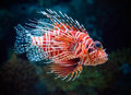 Lionfish underwater tropic colorful fish Royalty Free Stock Photos
