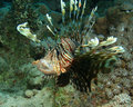 Lionfish yawning Royalty Free Stock Images