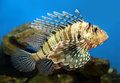 Lionfish zebrafish underwater close up Stock Photography