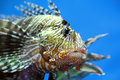 Lionfish zebrafish underwater close up Royalty Free Stock Photography