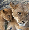 Lionne et animal - Botswana Image stock