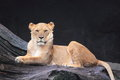 Lionness lioness panthera leo sitting on trunk Royalty Free Stock Photo