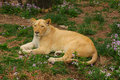 Lions beijing female in the zoo Royalty Free Stock Images