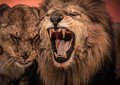 Lions in circus gorgeous roaring lion and lioness on arena Stock Photo