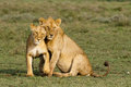 Lions cuddling lioness and young lion Stock Image
