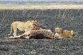 Lions eating a prey, Serengeti National Park, Tanzania