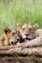 Lions Feeding Stock Photography