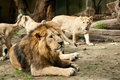 Lions group of at zoo Stock Image