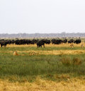 Lions hunting Buffalo Royalty Free Stock Photo