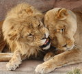 Lions kiss Stock Image