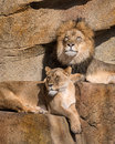 Lions on the ledge male and female african panthera leo resting rocky Royalty Free Stock Image