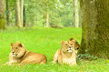 Lions lion group relaxing at longleat Stock Photo