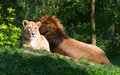 Lions lying in the grass Royalty Free Stock Images