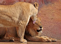 Lions male and female african interacting Stock Photos