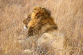 Lions male resting in the dry grass Royalty Free Stock Photos