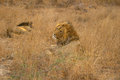 Lions male resting in the dry grass Royalty Free Stock Photography
