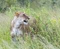 Lions masai mara lionss walking her five cubs through kenya s Royalty Free Stock Photos