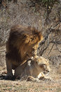 Lions mating these were photographed during an intense session in kruger national park in south africa are part of the big Royalty Free Stock Photography