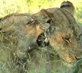 Lions playing a lioness playfully biting at another lioness in kruger park south africa Stock Photos