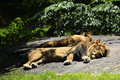 Lions resting lion and companion in the shade one summer afternoon Royalty Free Stock Photos