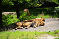 Lions resting lion and companion in the shade one summer afternoon Royalty Free Stock Photography