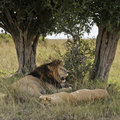Lions resting under tree Stock Photo