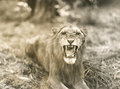 Lions roar Royalty Free Stock Photo