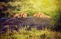 Lions on rocks on savanna at sunset. Safari in Serengeti, Tanzania, Africa Royalty Free Stock Photo