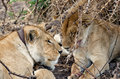 Lions serengeti resting under a tree in national park Stock Photography