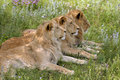 Lions three resting under a tree Stock Photography