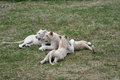 Lions three young white with blue eyes on the grass casela park mauritius Royalty Free Stock Photography