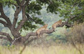 Lions in Tree South Africa Royalty Free Stock Photo