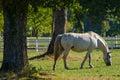 Lipizzan horses, Slovenia Royalty Free Stock Photo