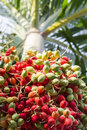 Lipstick palm or sealing wax palm or raja palm under sunlight close up ripen fruit of with warm tone Stock Photography