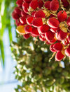 Lipstick palm under sunlight close up ripen fruit of or sealing wax or raja Stock Photography
