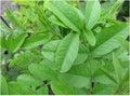 Liquorice glycyrrhiza glabra in garden Royalty Free Stock Image