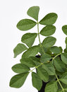 Liquorice leaves fresh a close up of from the plant Stock Photography