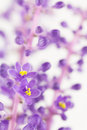 Liriope muscari purple flowers Royalty Free Stock Photo