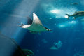 Lisbon oceanarium manta ray portugal march main tank seeing a passing Royalty Free Stock Photos
