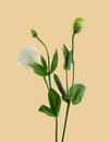 Lisianthus flower Royalty Free Stock Photo