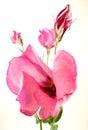 Lisianthus pink lovely to white reason Royalty Free Stock Photos