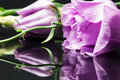 Lisianthus x eustoma grandiflorum x beautiful flowers and buds with reflexions dark background Royalty Free Stock Photos