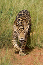 Lisi?tka jaguara czajenie Obraz Royalty Free